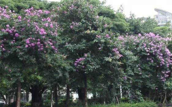 近日,紫薇路两旁的紫薇树花朵盛放。一串串紫红色的、火红色的鲜花在绿叶的衬托下,格外耀眼。一道亮丽的树的风景,装扮着我们美丽的家园。 据悉,紫薇是一种适应性强的长寿树种,更是中国珍贵的环境保护植物,非常适宜作庭院观赏树和街道绿化树。紫薇开花时正当初夏,花期长达四个月,紫薇树姿优美,花色艳丽,故有百日红之称,又有盛夏绿遮眼,此花红满堂的赞美。
